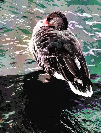 pet-duck