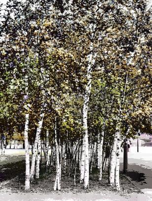 white-trees