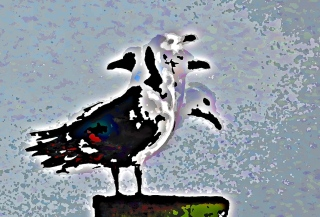 many-headed gull